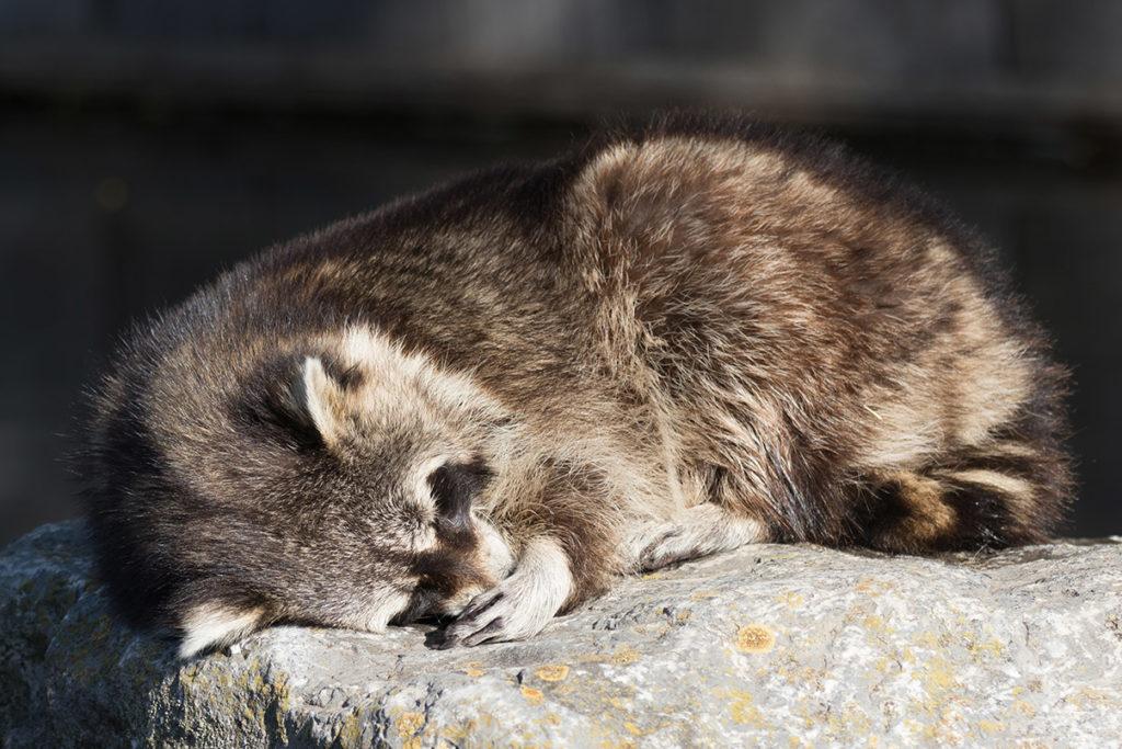 slapende wasbeer in blijdorp