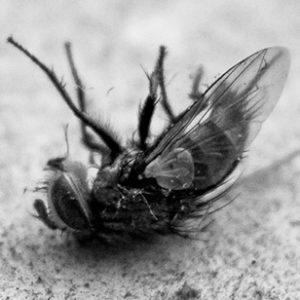 dode vlieg, dode natuur