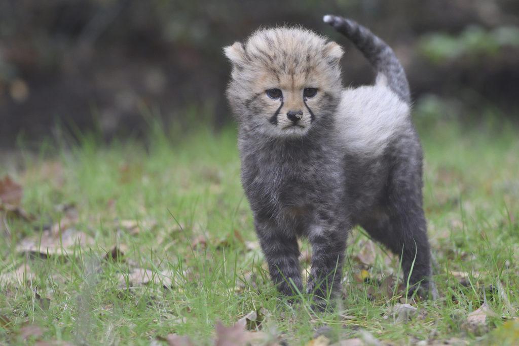 Rennende cheetah