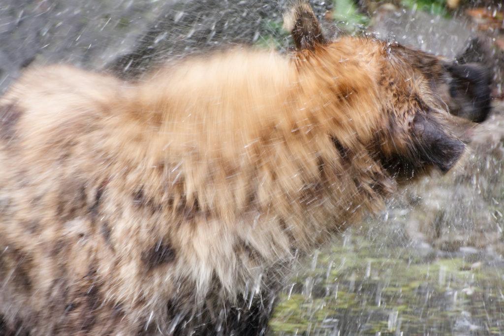 Hyena, bewegingsonscherpte