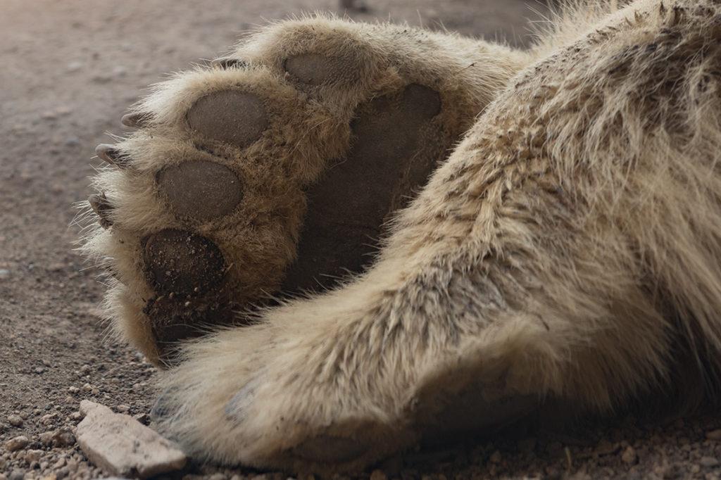 IJsbeer voetje
