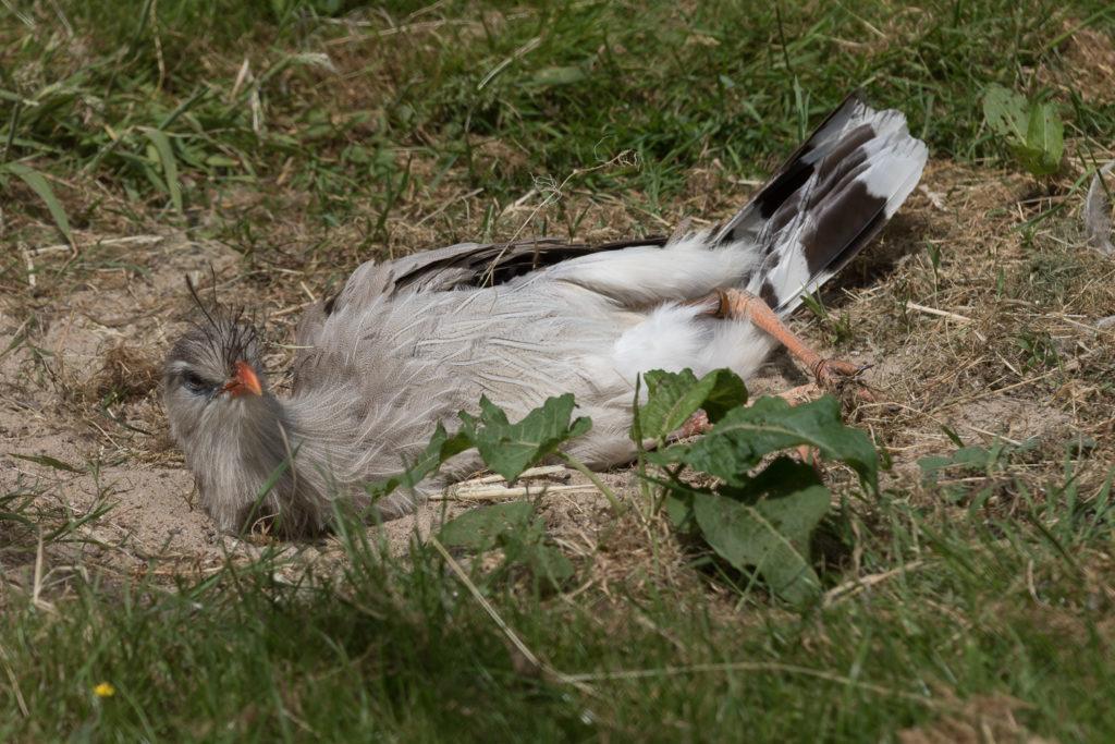 watervogelvoliere kuifseriema
