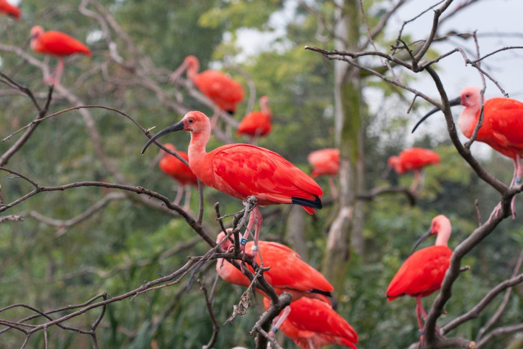 watervogelvoliere rode ibis