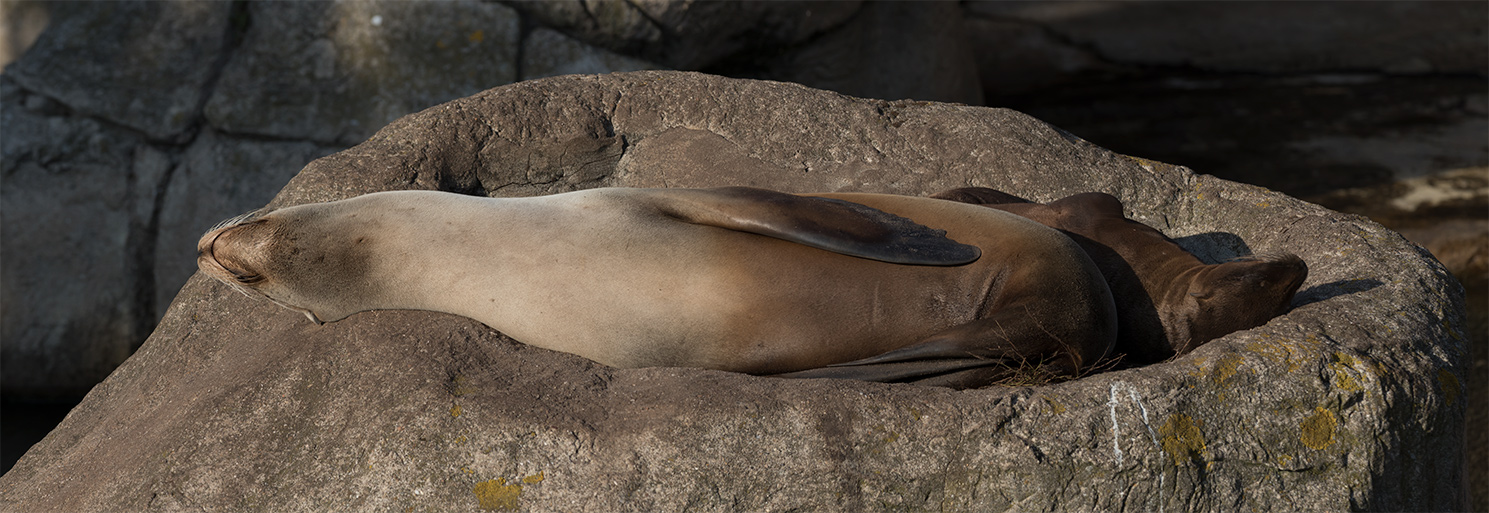 zeeleeuw