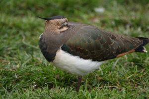 weidevogels - kievit