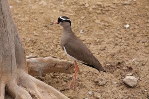 weidevogels - plevier