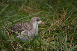 weidevogels - tureluur