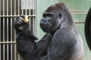 gorilla fotograferen blijdorp