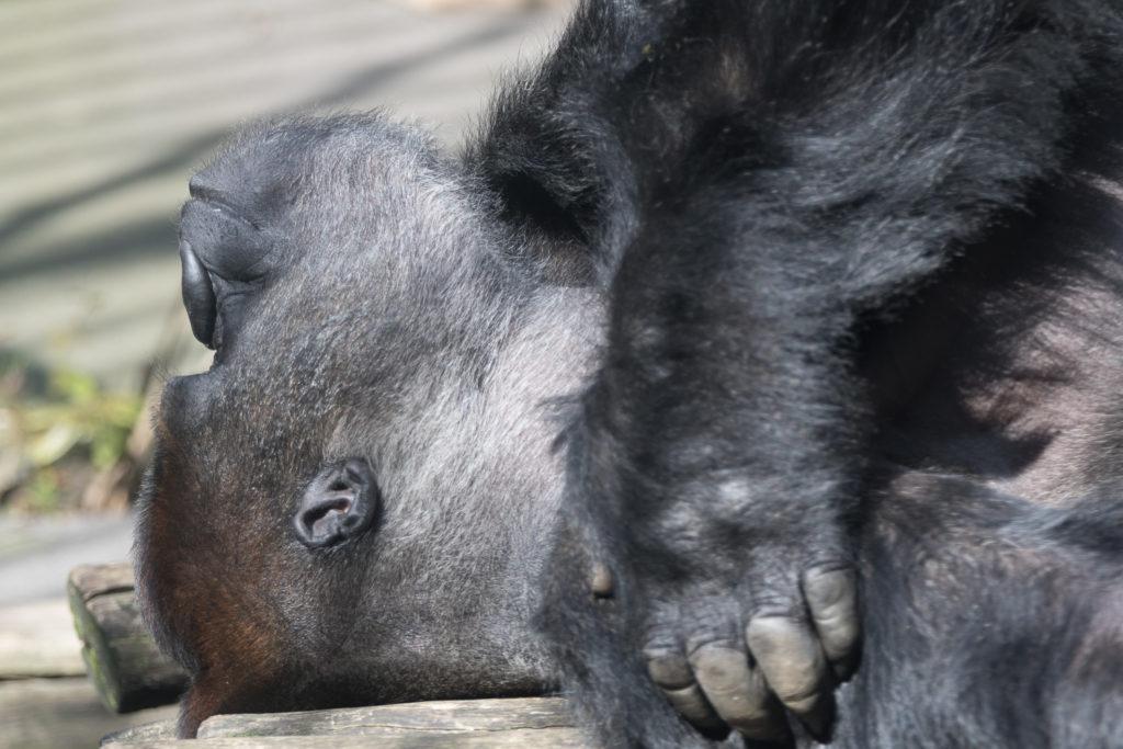 westelijke gorilla fotograferen blijdorp